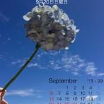 9月の紫陽花